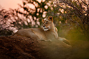 "Lioness in the evening on the Phinda Game Reserve.<br /> <br /> Phinda Private Game Reserve encompasses an impressive 23 000 hectares (56 800 acres) of prime conservation land wilderness in KwaZulu-Natal, South Africa. Showcasing one of the continent's finest game viewing experiences. Phinda is described as ""Seven Worlds of Wonder"", with its seven distinct habitats - a magnificent tapestry of woodland, grassland, wetland and forest, interspersed with mountain ranges, river courses, marshes and pans. Phinda is a wilderness sanctuary where intimate encounters, adventure and rare discoveries can be experienced firsthand."