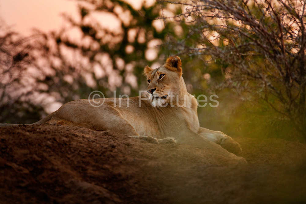 """Lioness in the evening on the Phinda Game Reserve.<br /> <br /> Phinda Private Game Reserve encompasses an impressive 23 000 hectares (56 800 acres) of prime conservation land wilderness in KwaZulu-Natal, South Africa. Showcasing one of the continent's finest game viewing experiences. Phinda is described as """"Seven Worlds of Wonder"""", with its seven distinct habitats - a magnificent tapestry of woodland, grassland, wetland and forest, interspersed with mountain ranges, river courses, marshes and pans. Phinda is a wilderness sanctuary where intimate encounters, adventure and rare discoveries can be experienced firsthand."""