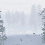 A member of the Gray Wolf Druid pack running along a ridge in the Lamar Valley, Yellowstone National Park, Wyoming.