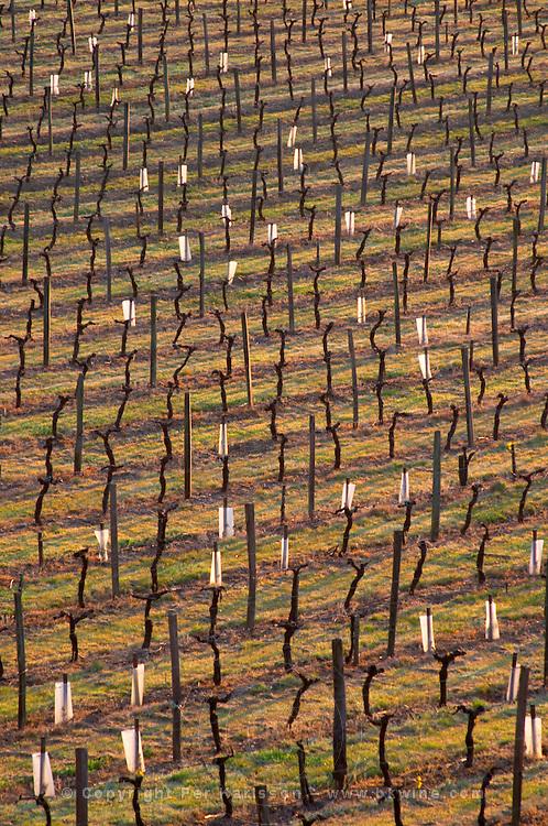 vineyard in early morning chateau pey la tour bordeaux france