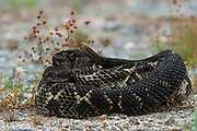 Timber Rattlesnake (Crotalus horridus) - Black morph<br /> CAPTIVE<br /> Northern Georgia<br /> USA<br /> HABITAT & RANGE: Deciduous forests in rugged terrain and open, rocky ledges. Eastern USA