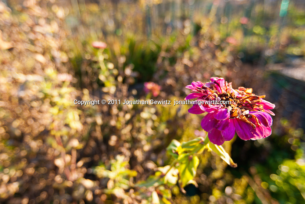 Wilting violet flower in an autumn garden. WATERMARKS WILL NOT APPEAR ON PRINTS OR LICENSED IMAGES.