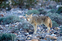 Desert Coyote, Death Valley, CA