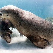 Two mature male Australian sea lions (Neophoca cinerea) engaged in mock fighting