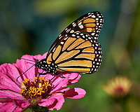 Monarch Butterfly Feeding on a Pink Zinnia Flower. Image taken with a Fuji X-H1 camera and 80 mm f/2.8 OIS macro lens (ISO 200, 80 mm, f/5.6, 1/1800 sec).
