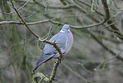 Wood pigeon, winter