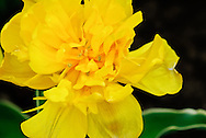 Double Early Tulip 'Calimero' Keukenhof Spring Tulip Gardens, Lisse, The Netherlands.