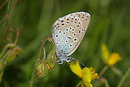 Large Blue - Maculinea arion