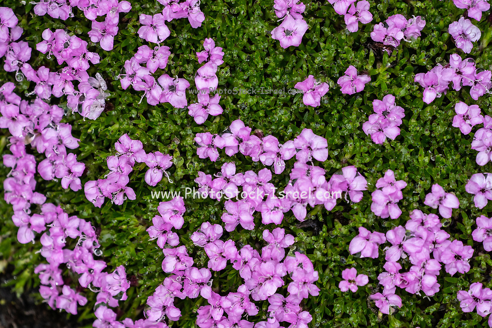 Silene acaulis, known as moss campion or cushion pink, is a small mountain-dwelling wildflower that is common all over the high arctic and tundra in the higher mountains of Eurasia and North America, It is an evergreen perennial. Photographed in Spitsbergen, Svalbard, Arctic, Norway