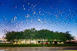 Purple martins (Progne subis) in flight above Sonic Restaurant during fall migration, Dallas, Texas, USA.