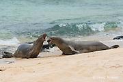 Hawaiian monk seals, Monachus schauinslandi ( critically endangered endemic species ),  two males fight over access to female at Papaloa Beach, Kalaupapa Peninsula, Molokai Island, Hawaii, USA ( Pacific Ocean )