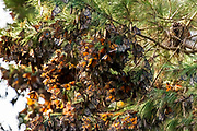 Monarch Butterflies clustered in a Pine Tree, Monarch Preserve, Pacific Grove, California