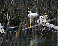 Snowy Egret at Botany Bay Plantation Heritage Preserve and Wildlife Management Area Edisto Island, South Carolina, United States of America Botany Bay Beach, Edisto Island photo by <br /> Catherine Brown