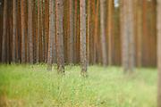Angepflanzter Kiefernwald beim Löcknitz-Tal