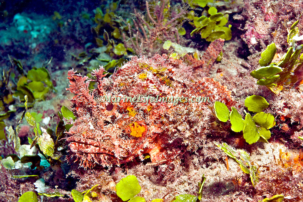 Spotted Scorpionfish most commonly inhabit reefs, but can be found in all bottom habitats in Tropical West Atlantic; picture taken Blue Heron Bridge, Palm Beach, FL.