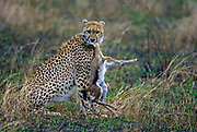 A Cheetah has caught a young Thomson's gaselle, which is doomed. Maasai Mara, Kenya.