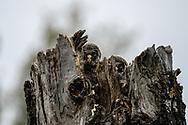 ALSEN 20210531<br /> Lappugglans ungar i toppen av ett gammalt träd.<br /> <br /> Foto: Per Danielsson/Projekt.P