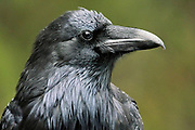 Common raven (Corvus corax). Icefields Parkway.<br />Banff National Park<br />Alberta<br />Canada