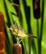 Common Yellowthroat on Cattails