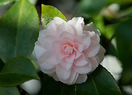 """Camellia japonica """"Incarnata' in the conservatory, Chiswick House, Chiswick, London, UK"""