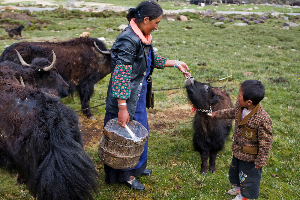 Tibetan nomadic yak herder Karsal's wife, Phurba, has milked one of the family's dris in the early morning at their tent on the Tibetan Plateau. (Karsal is featured in the book What I Eat: Around the World in 80 Diets.) The male yaks remain free at night, grazing at higher elevations, and the dris and their calves are tethered close to the tent to make milking in the morning convenient.