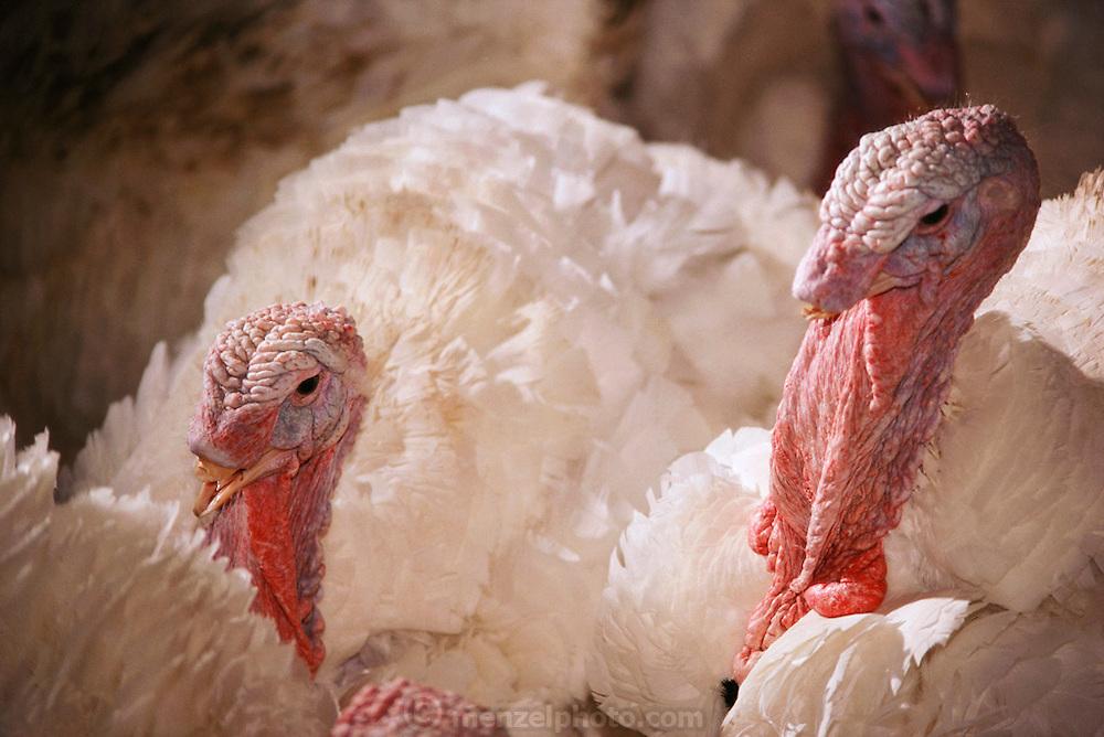 Poultry: Nicholas Turkey Breeding Farms, Sonoma, California.