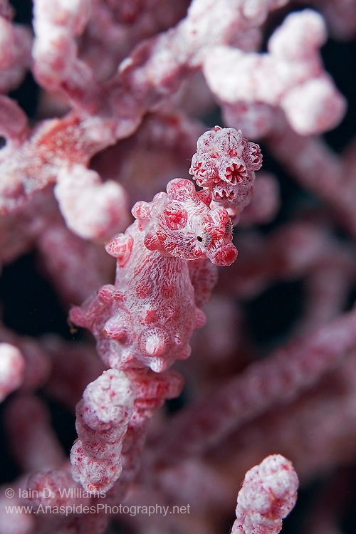 The size of a rice grain, these miniature sea horses live their lives on sea fans usually below 20 m. There are several colour variations and their camouflage makes them almost impossible to observe