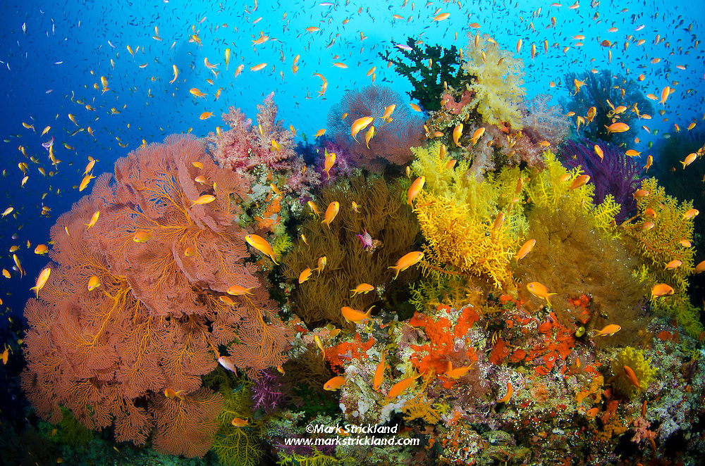 Thriving marine life on a current-swept reef at Vatu-i-ra, Bligh Water, Fiji, Pacific Ocean
