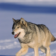 Gray Wolf (Canis lupus) adult running during the winter. Captive Animal