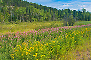 Tansy (Tanacetum vulgare) and fireweed (Epilobium sp) in meadow<br />Near Kenora<br />Ontario<br />Canada