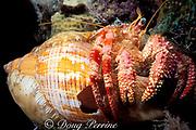 stareye hermit crab, Dardanus venosus, <br /> Little Bahama Bank<br /> Bahamas ( Western Atlantic Ocean )