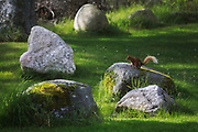 A small red squirrel pause on a rock in a back garden, July 27th 2019, The Scottish Highland, Scotland, United Kingdom. The squirrel has just been to eat out of the birds food tray and is heading to safety up in the trees. Red squirrels are common in Scotland unlike in England where the grey squirrel has taken over.