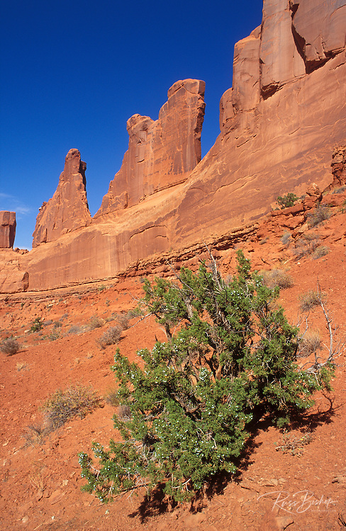 Juniper and rock formations along Park Avenue, Arches National Park, Utah