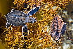green sea turtle, Chelonia mydas, and loggerhead turtle hatchlings, Caretta caretta, taking refuge among sargassum weed, Sargassum natans, Juno Beach, Florida, Atlantic Ocean (c)