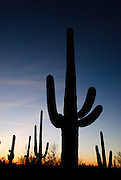 A vertical image of Arizona showing Saguaro cactus silhouetted by the evening sky. Missoula Photographer