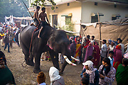 Mahouts (handlers) take their elephants down to the banks of the Gandak river (a tributary of the Ganges) during the month long Sonepur animal fair outside Patna city, Bihar province, to bathe and drink. Thousands of pilgrims also participate in this popular and well known annual event which attracts buyers and sellers from all over India.