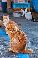 Japon, île de Shikoku, préfecture d'Ehime, île d'Aoshima, l'ile aux chats // Japan, Shikoku island, Ehime region, Aoshima island, Cat island