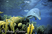 """""""Honey"""", a wild sociable bottlenose dolphin, Tursiops truncatus, swims over a shallow coral reef, Lighthouse Reef Atoll, Belize, Central America ( Caribbean Sea )"""