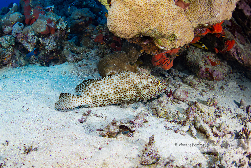 Greasy grouper-Mérou loutre (Epinephelus tauvina) of Red Sea, Sudan.