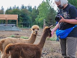 United States, Washington, Carnation, Cascade Rose Alpacas