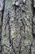 Silver Birch Tree, Betula pendula, UK, close up