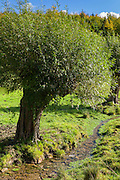 Willow trees border a stream in The Cotswolds, Oxfordshire, United Kingdom