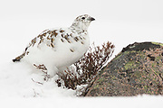 Ptarmigan, Lagopus mutus, female, intermediate plumage, Cairngorms, Strathspey, Highland.<br /> animal; animals; bird; birds; grouse; nature; wildlife; adult;<br /> one; single; lone; alone; stood; standing; looking; look; watch;<br /> watching; snow; white; cold; moor; mo
