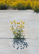Vertical of cowpen daisies on vacant lot with concrete slab<br />