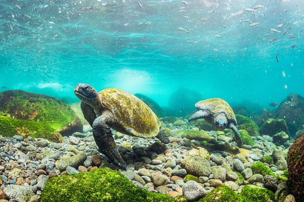 Galapagos green sea turtles (Chelonia mydas agassizii) feeding on seaweed growing on lava rocks off Isabela Island, Galapagos, Ecuador.
