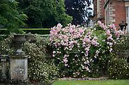 Rosa 'Pink Bells' on a stone balustrade at Newby Hall, Ripon, North Yorkshire, UK