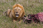 Male lion and wildebeest kill, Serengeti National Park