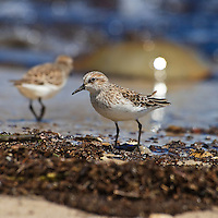 Each year hundreds of thousands of shorebirds arrive in the Delaware Bay to feed on the eggs of spawning horseshoe crabs.  This semipalmated sandpiper (Calidris pusilla) was part of a flock of sandpipers feeding on eggs at the Logan Tract of the Ted Harvey Conservation Area, Kitts Hummock, Delaware. A spawning crab is visible in the background.