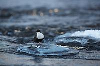 WILD WHITE-THROATED DIPPER; CINCLUS CINCLUS; WINTER; KITKAJOKI; FINLAND; FEBRUARY; EUROPE