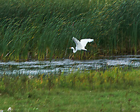Great Egret (Ardea alba). Crystal Springs Waterfowl Production Area. Image taken with a Nikon D700 camera and 80-400 mm VR lens.
